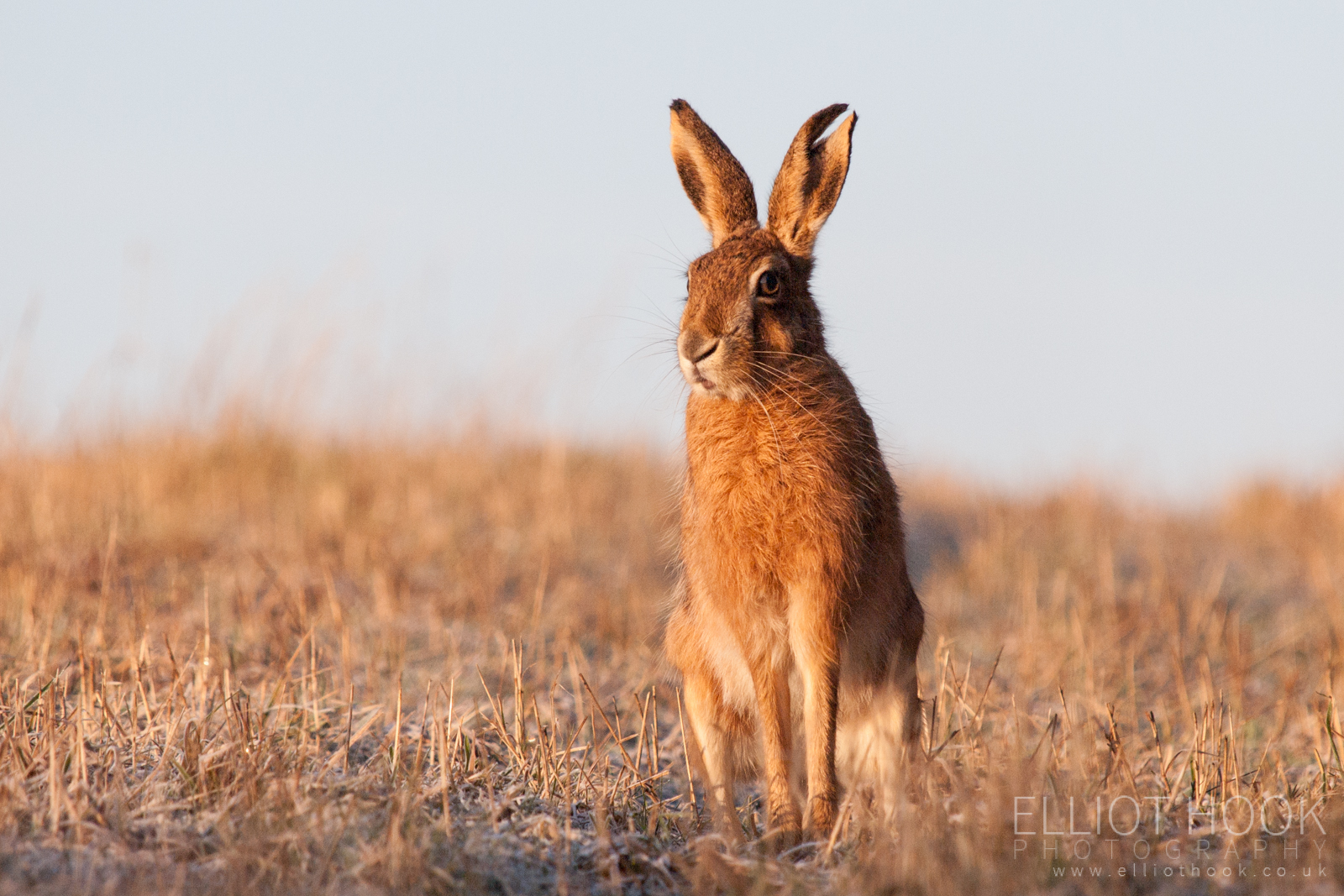 Brown Eye Close Up Brown Hare - Elliot Ho...