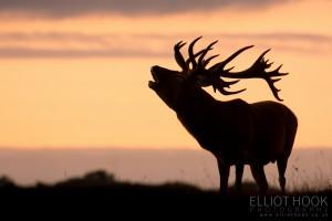 Bellowing Red Deer stag (Cervus elaphus)