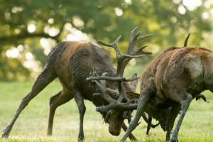 Red Deer Stags Locking Antlers