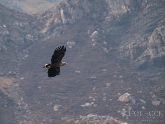 White tailed sea eagles, Skye