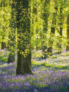 Bluebells - Narrow depth of field