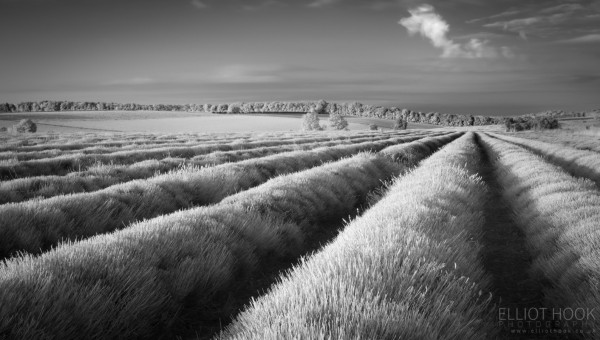Cotswold Lavender Infrared with the Hoya R72