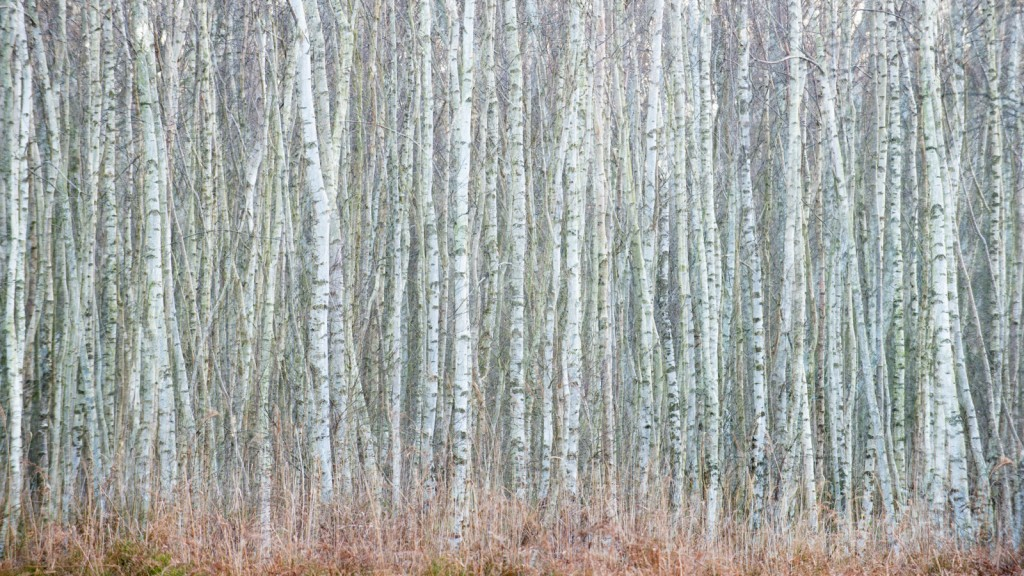Holme Fen Birch Woodland