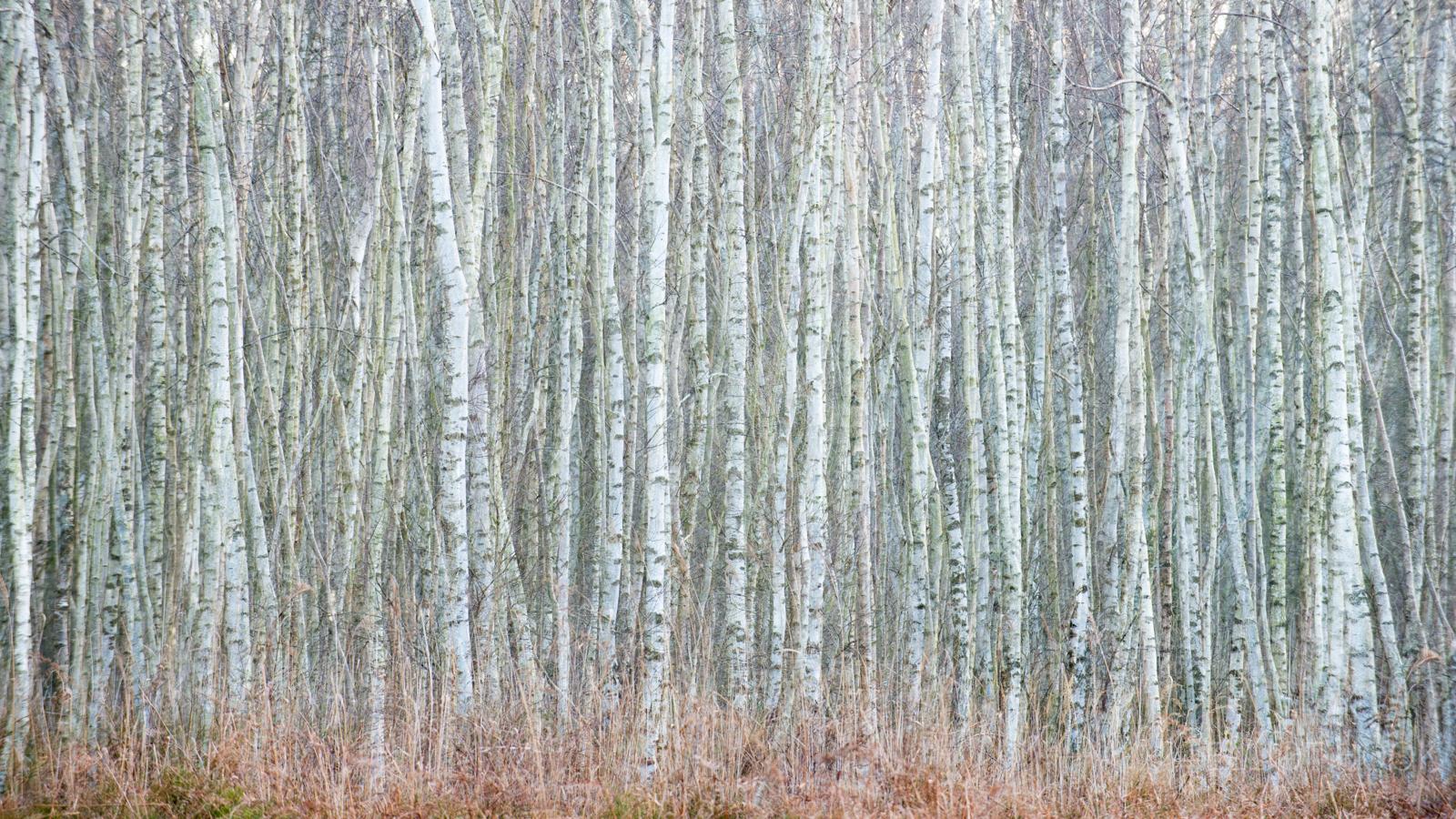 Holme Fen Birch Woodland