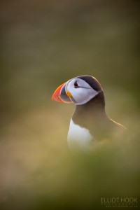 Atlantic Puffin, Skomer