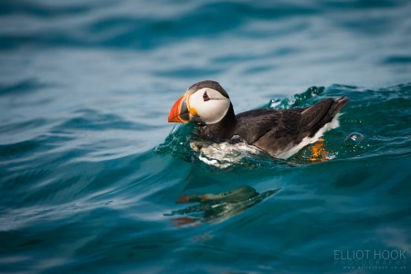 Rafting Atlantic Puffin, Skomer