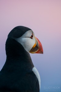 Atlantic Puffin after sunset, Skomer