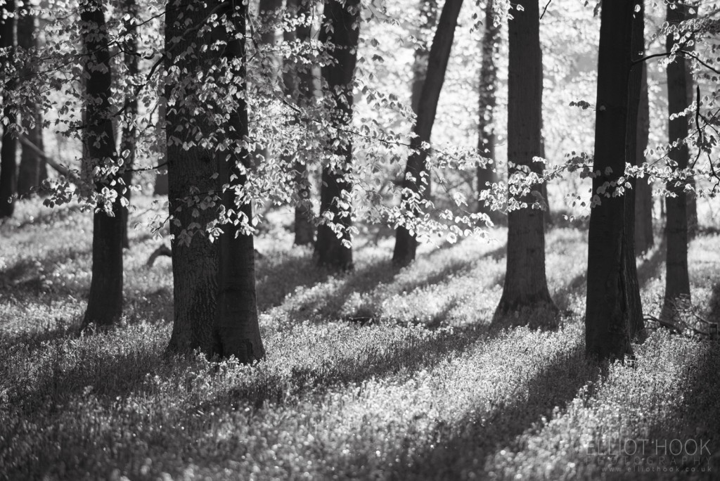 Bluebells in black and white