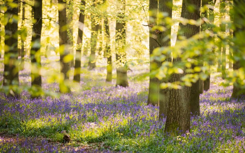 Bluebell woodland Ashridge Estate