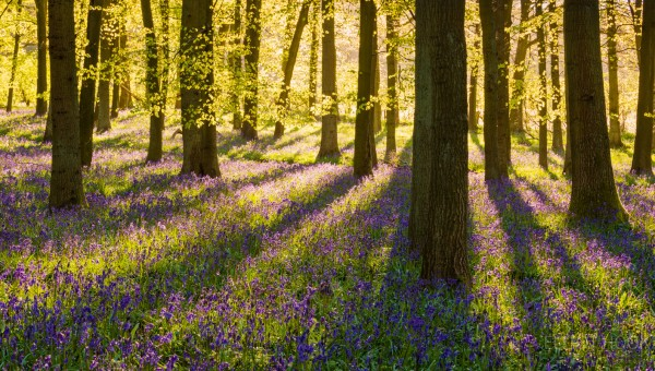 Bluebell Woodland Ashridge Estate