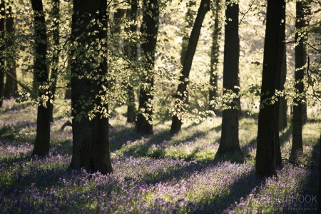 Bluebell Woodland Ashridge