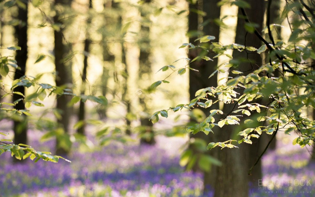 Bluebell Woodland Leaves