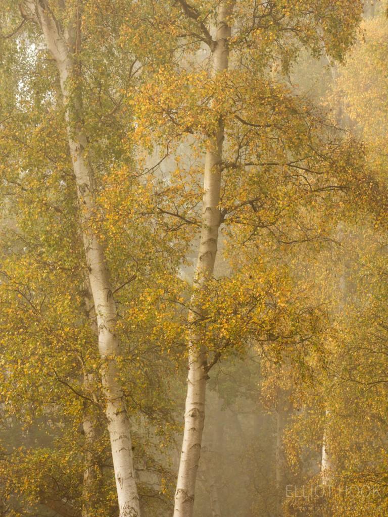 Holme Fen Silver Birch