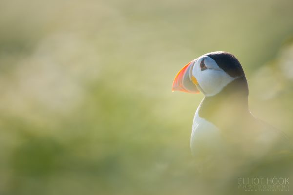 Back lit puffin, Skomer