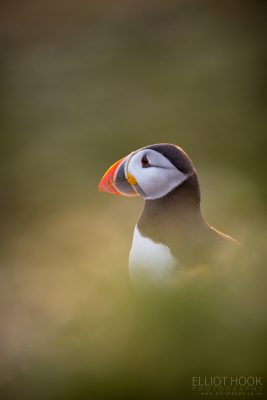 Puffin Portrait, Skomer