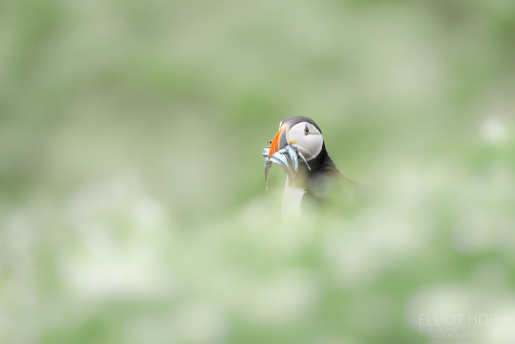 Puffin amongst daisies, Skomer