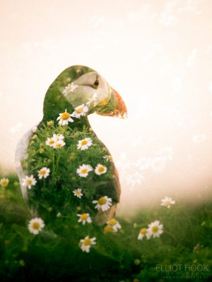 Double Exposure Puffin, Skomer
