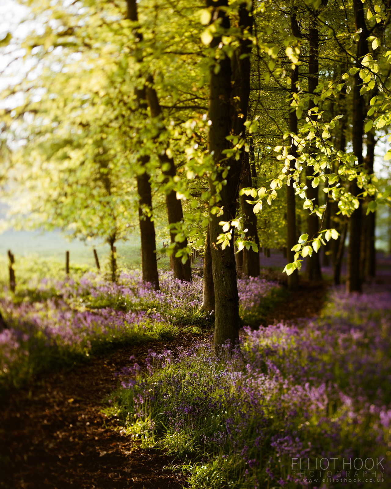 Bluebell Woodland tilt shift