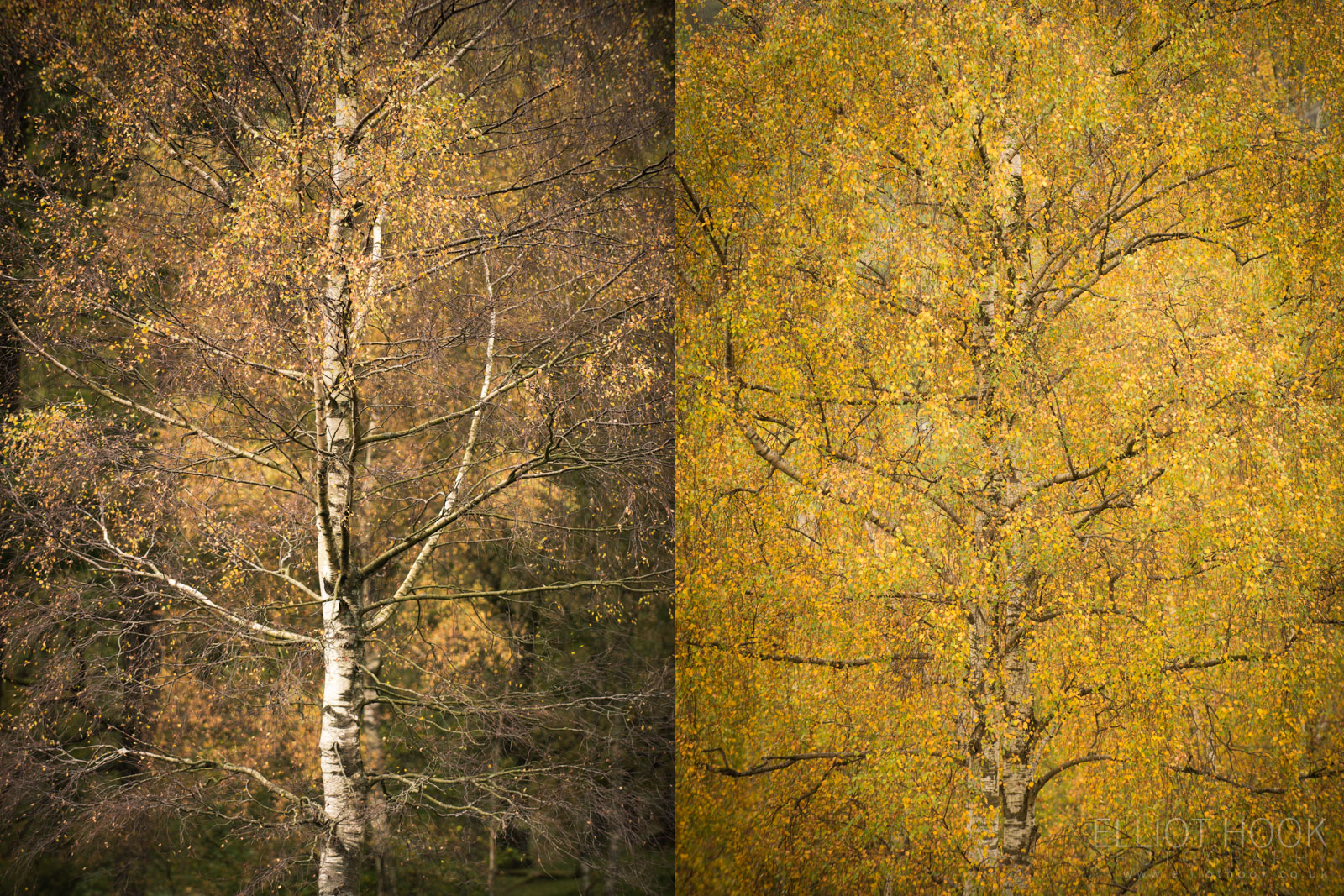 Contrasing silver birch trees in autumn