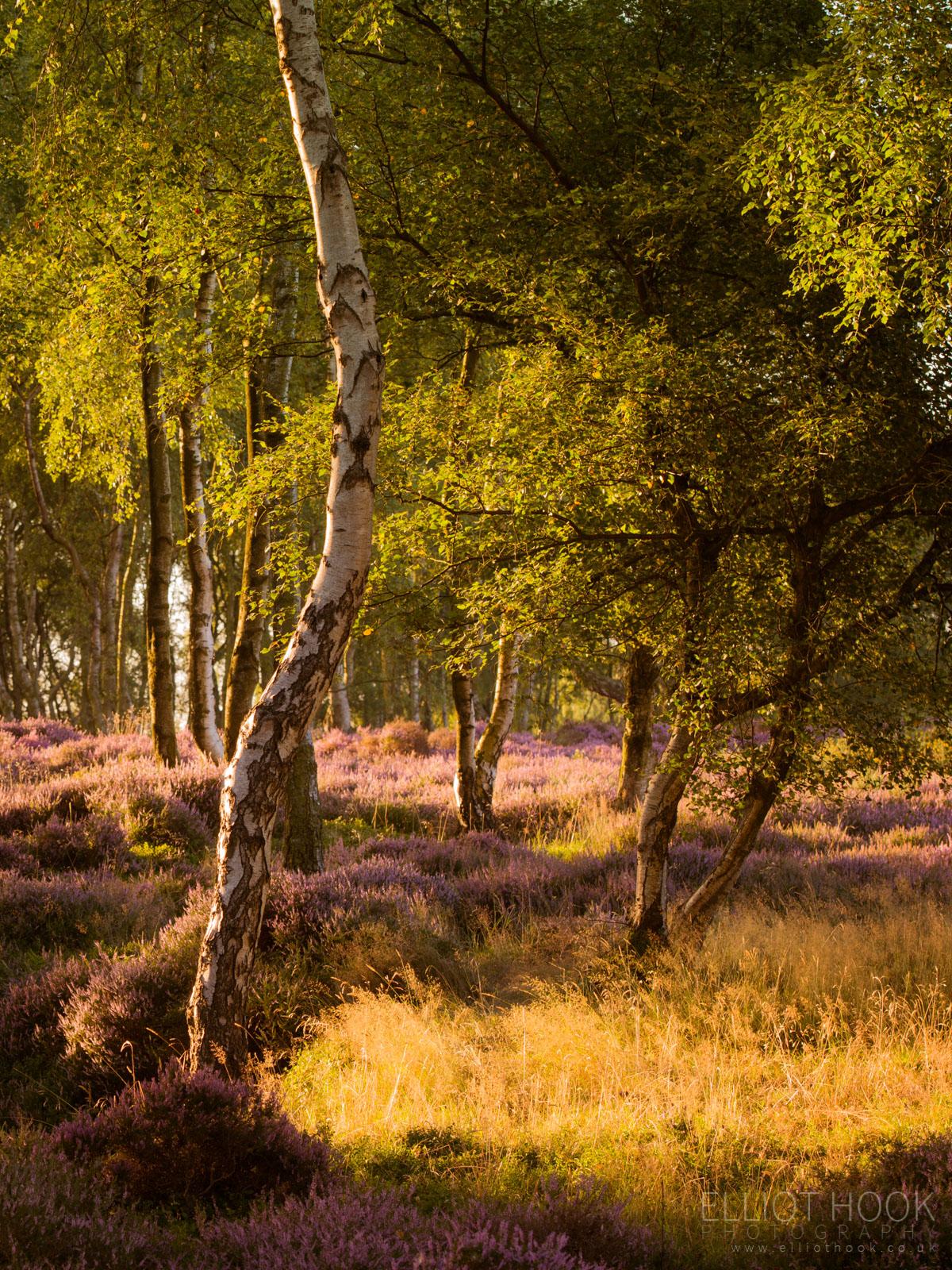 Heather in Stanton Moor Woodland
