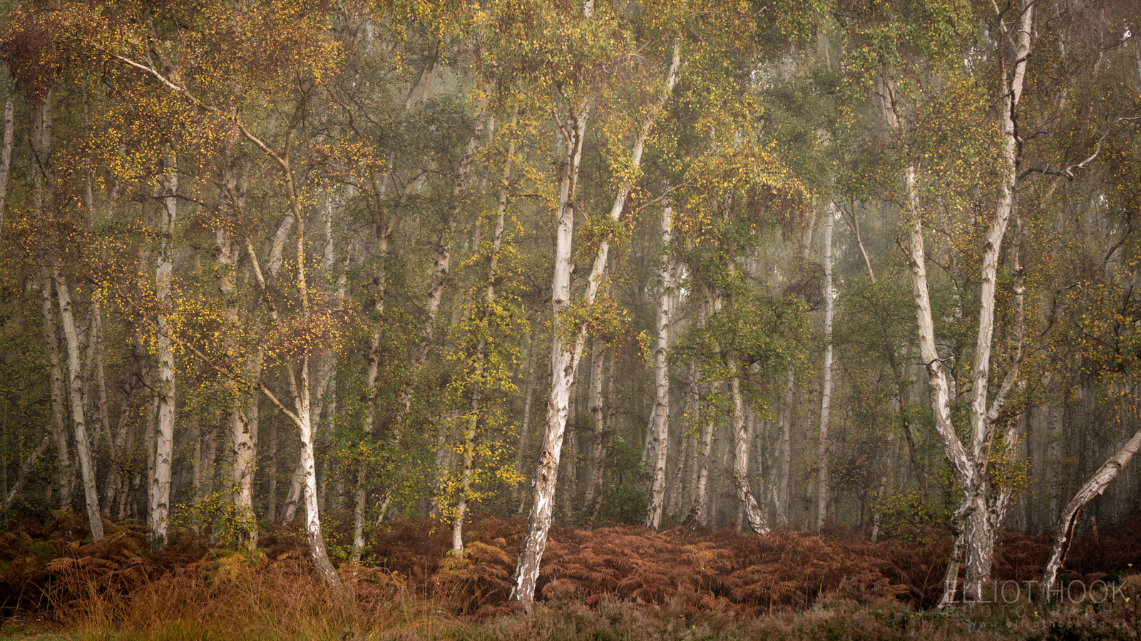 Woodland panorama of silver birch trees from Holme Fen