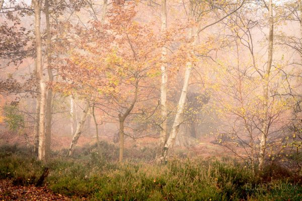 Photograph of birch trees in autumn woodland glade