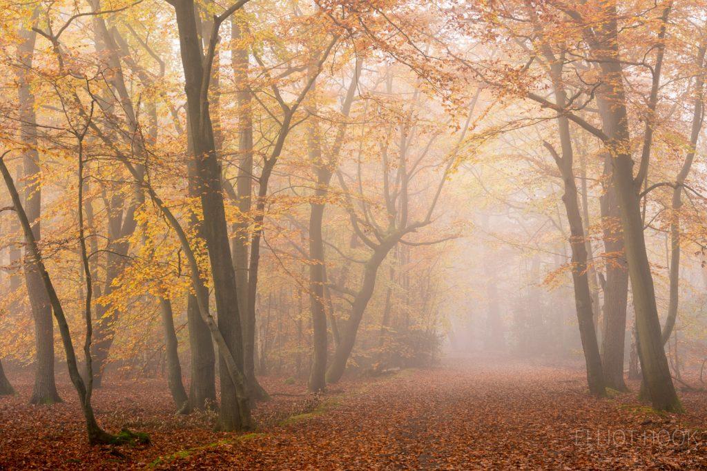 Photograph of path through an autumnal beech woodland