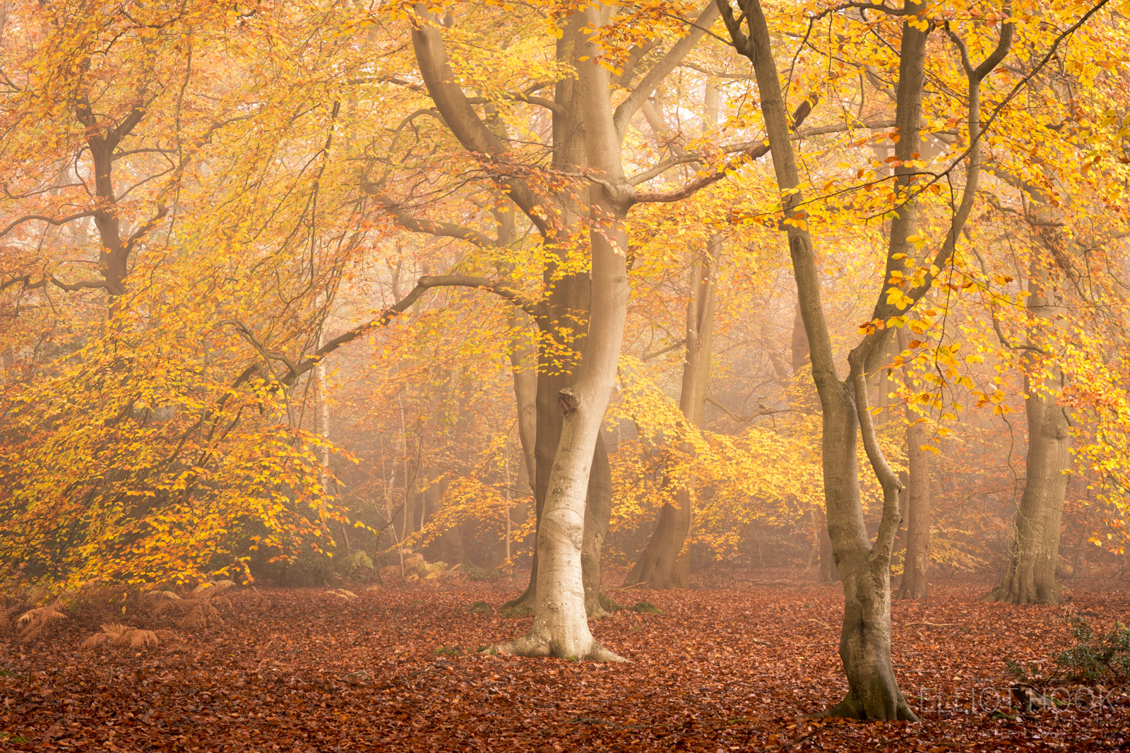 autumnal beech tree woodland photograph