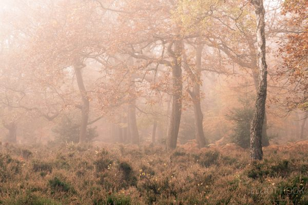 Photograph of autumnal trees amongst heather, disappearing into the mist